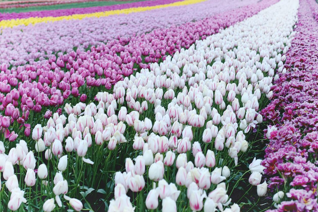 where to see tulips in the pacific northwest