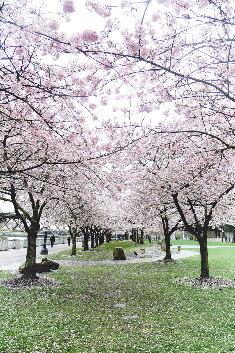 Cherry blossom festival in Portland, Oregon