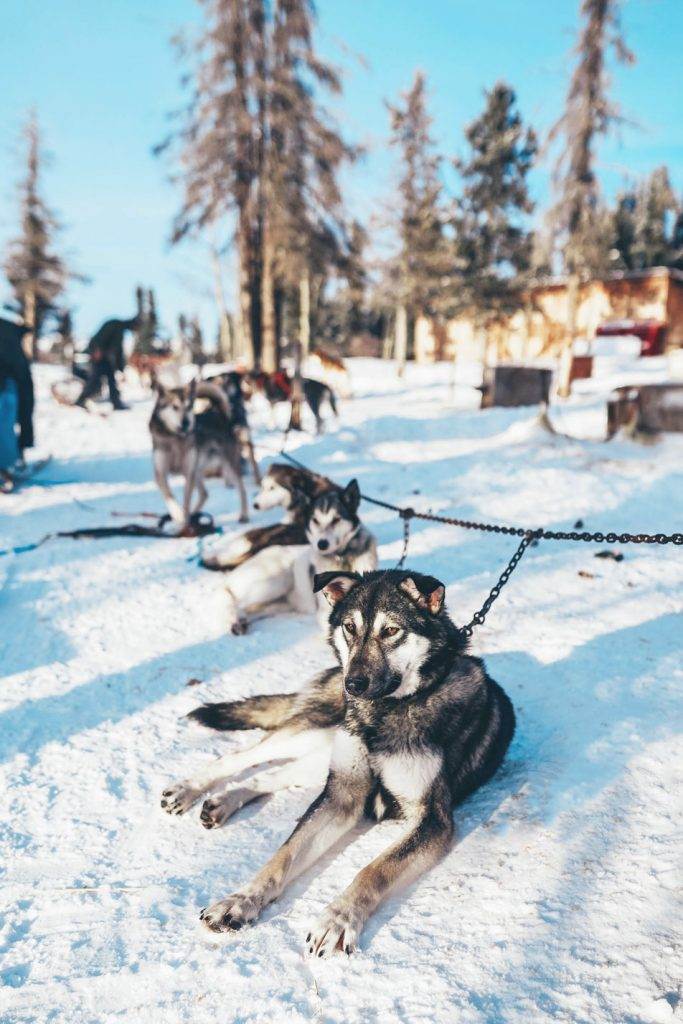 Yukon dog sledding tour